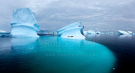 Crabeater Seals (Lobodon carcinophagus) resting on grounded icebergs. Panorama, Antarctic Peninsula, Antarctica Region, Antarctica stock photo.