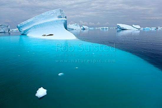 Crabeater Seals (Lobodon carcinophagus) resting on grounded icebergs, Antarctic Peninsula, Antarctica Region, Antarctica stock photo.