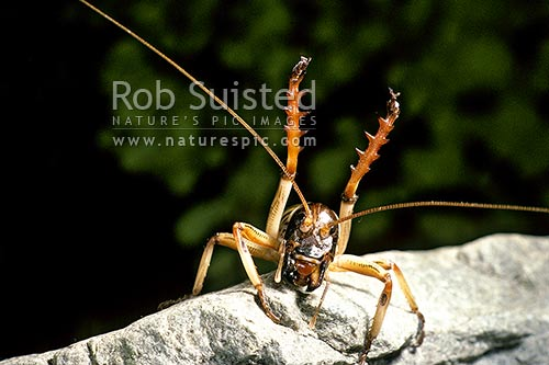 Tree weta (Hemideina crassidens) ; Male in defense posture, New Zealand (NZ) stock photo.