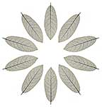 Star pattern of leaf skeletons