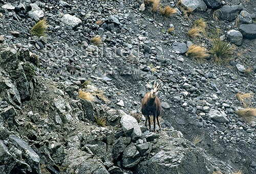 Chamois (rupicapra rupicapra) buck urinating nervously, Inland Kaikoura Ranges, New Zealand (NZ) stock photo.