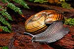 Giant Powelliphanta snail, native