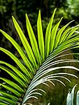 Nikau palm leaves in sun