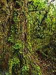 Rimu Tree trunk, Pureora Forest