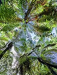 Tree fern canopy, native forest
