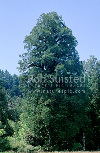 Kahikatea / White Pine (Dacrycarpus dacrydioides), Franz Josef, New Zealand (NZ) stock photo.