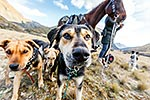 Huntaway dogs in high country, Otago