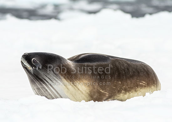 Ross seal (Ommatophoca rossii) on pack ice, the least known of the Antarctic seals, Ross Sea, Antarctica Region, Antarctica stock photo.