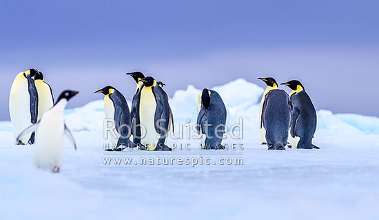 Emperor Penguins (Aptenodytes forsteri) on pack ice, accompanied by a lone Adelie Penguin (Pygoscelis adeliae). Panorama, Ross Sea, Antarctica Region, Antarctica stock photo.