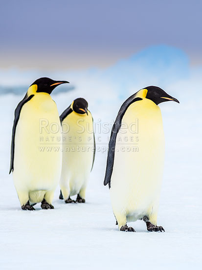 Emperor Penguins (Aptenodytes forsteri) on pack ice, Ross Sea, Antarctica Region, Antarctica stock photo.