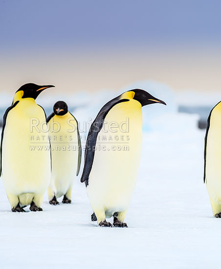 Emperor Penguins (Aptenodytes forsteri), a group of birds on pack ice, Ross Sea, Antarctica Region, Antarctica stock photo.