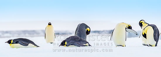Emperor Penguins (Aptenodytes forsteri). Group of Emperor Penguins, including sleeping birds on pack ice. Panorama, Ross Sea, Antarctica Region, Antarctica stock photo.