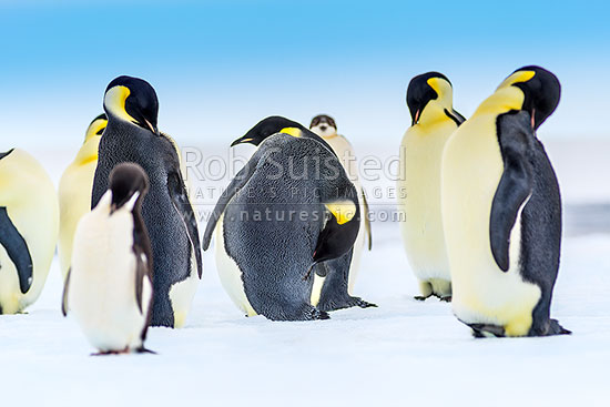 Emperor Penguins (Aptenodytes forsteri) grooming and preening on pack ice, Ross Sea, Antarctica Region, Antarctica stock photo.