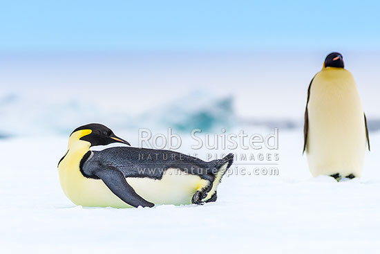 Emperor Penguins (Aptenodytes forsteri), with penguin lying on snow, Ross Sea, Antarctica Region, Antarctica stock photo.
