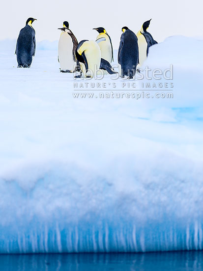 Emperor Penguins (Aptenodytes forsteri) on icicle carrying pack ice, Ross Sea, Antarctica Region, Antarctica stock photo.