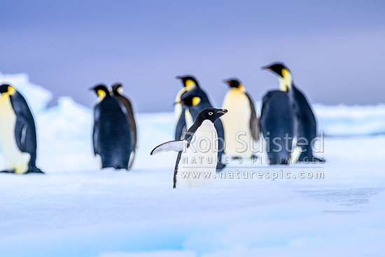 Emperor Penguins on snow and pack ice (Aptenodytes forsteri), with stormy sky above. Lone Adelie Penguin (Pygoscelis adeliae) accompanying the group, Ross Sea, Antarctica Region, Antarctica stock photo.