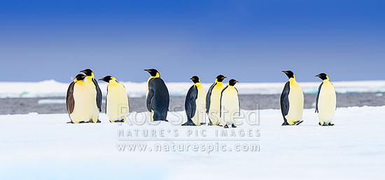 Emperor Penguins on snow and pack ice (Aptenodytes forsteri). Group of Emperors. Panorama, Ross Sea, Antarctica Region, Antarctica stock photo.