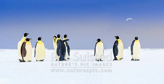 Emperor Penguins on snow and pack ice (Aptenodytes forsteri), with snow petrel (Pagodroma nivea) flying overhead. Panorama, Ross Sea, Antarctica Region, Antarctica stock photo.