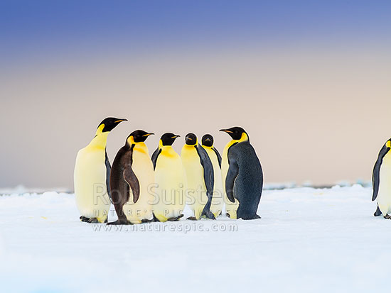 Emperor Penguins huddling (Aptenodytes forsteri), Ross Sea, Antarctica Region, Antarctica stock photo.