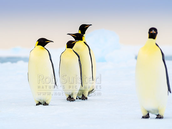 Emperor Penguins on snow and pack ice (Aptenodytes forsteri). Group of Emperors, Ross Sea, Antarctica Region, Antarctica stock photo.