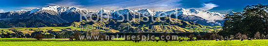 Tararua Ranges above grazing dairy cattle on lush Wairarapa farmland near Masterton. Fresh winter snowfall above. Mountain in focus. Panorama, Waingawa, Carterton District, Wellington Region, New Zealand (NZ) stock photo.
