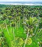 Nikau Palms from above