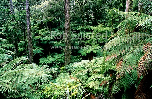 Tree fern Understory of Tall Podocarp forest (mainly Rimu Dacrydium cupressinum), Whirinaki Forest Park, Whakatane District, Bay of Plenty Region, New Zealand (NZ) stock photo.