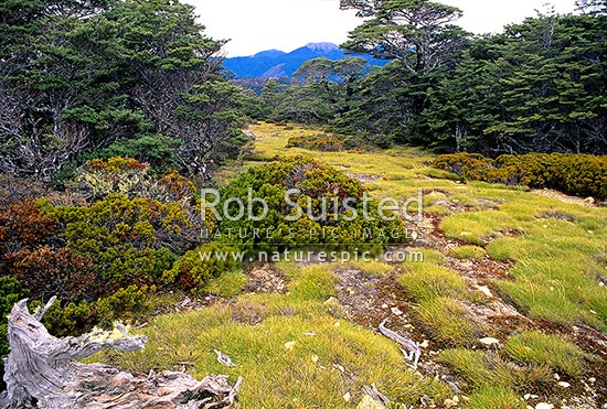Mountain Beech giving way to alpine en route to Lake Sylvester, Cobb Valley, Kahurangi National Park, Tasman District, Tasman Region, New Zealand (NZ) stock photo.