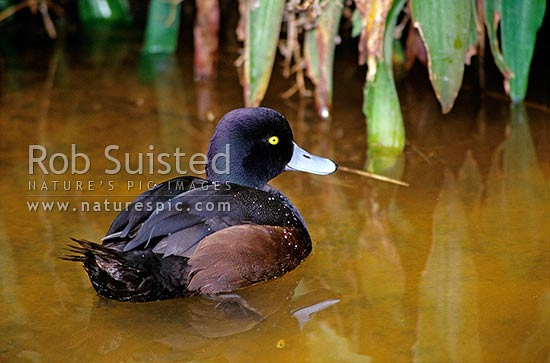 New Zealand Scaup (Aythya novaeseelandiae) male, New Zealand (NZ) stock photo.