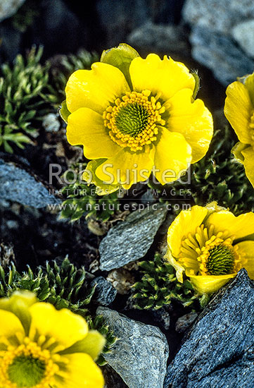 Large feathery-leaved buttercups (Ranunculus sericophyllus) on Douglas Saddle, Douglas River, New Zealand (NZ) stock photo.