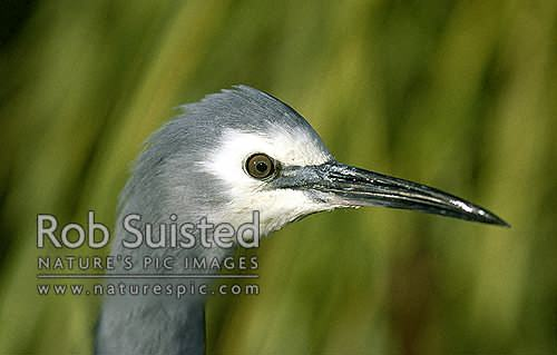 White faced heron (Ardea novaehollandiae) head close up, Waikanae, New Zealand (NZ) stock photo.