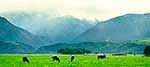 Dairy farming, Kaikoura mountains
