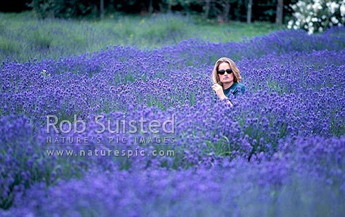 Lavender field at Stone Pine Lavender Centre, Te Horo, Kapiti Coast District, Wellington Region, New Zealand (NZ) stock photo.