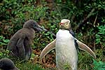 Yellow eyed penguin & chicks